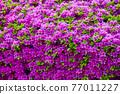 春天 杜鵑花 花 77011227