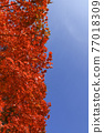 autumn, autumnal, maple 77018309