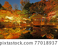 maple, yellow leafe, lit up 77018937