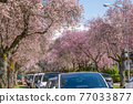 Vancouver city cherry blossom in beautiful full bloom in West 22nd Avenue, Arbutus Ridge residential neighbourhood. BC, Canada. 77033877
