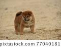 柴犬 叢林犬 毛孩 77040181