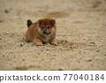 柴犬 叢林犬 毛孩 77040184