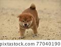柴犬 叢林犬 毛孩 77040190