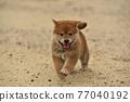 柴犬 叢林犬 毛孩 77040192