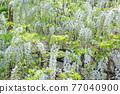 白色紫藤花 77040900