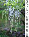 白色紫藤花 77040902