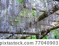 白色紫藤花 77040903