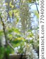 白色紫藤花 77040906