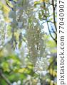 白色紫藤花 77040907