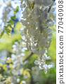 白色紫藤花 77040908