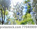 白色紫藤花 77040909