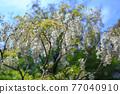 白色紫藤花 77040910