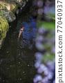 紫藤和鯉魚 77040937