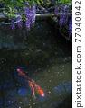 紫藤和鯉魚 77040942