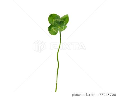 Four leaf clover 1 77043708
