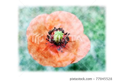 flower, flowers, papaver rhoeas 77045528