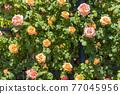 七彩玫瑰花朵 77045956