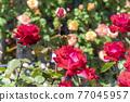 七彩玫瑰花朵 77045957