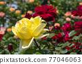 七彩玫瑰花朵 77046063