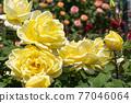 七彩玫瑰花朵 77046064