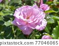 玫瑰 玫瑰花 花朵 77046065