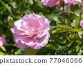 玫瑰 玫瑰花 花朵 77046066