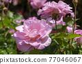 玫瑰 玫瑰花 花朵 77046067