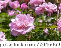 玫瑰 玫瑰花 花朵 77046069
