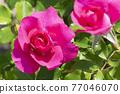 玫瑰 玫瑰花 花朵 77046070