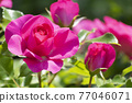 玫瑰 玫瑰花 花朵 77046071