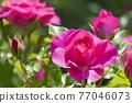 玫瑰 玫瑰花 花朵 77046073