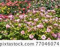 七彩玫瑰花朵 77046074