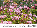 七彩玫瑰花朵 77046200
