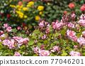 七彩玫瑰花朵 77046201