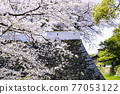 奧古拉城堡是一個美麗的櫻花觀賞時期 77053122
