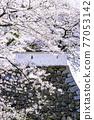 奧古拉城堡是一個美麗的櫻花觀賞時期 77053142