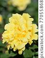 玫瑰(天津少女) 77055868
