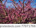 Peach blossom in Cieza, Mirador El Horno in the Murcia region in Spain 77071766