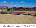 Peach blossom in Cieza, Mirador El Olmico in the Murcia region in Spain 77071771