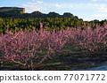 Peach blossom in Cieza La Torre in the Murcia region in Spain 77071772