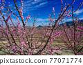 Peach blossom in Cieza, Soto de la Zarzuela in the Murcia region in Spain 77071774