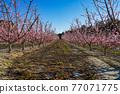 Peach blossom in Cieza La Torre in the Murcia region in Spain 77071775