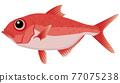 red snapper, beryx splendens, fish 77075238