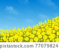 Rape flowers and sky 77079824
