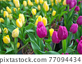 There are a lot of yellow and pink tulips in the garden.  The Sun-Link-Sea Forest and Nature Resort is located in Nantou County, Taiwan. 77094434