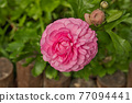 Ranunculus asiaticus L. ( Persian buttercup, Persian crowfoot, Asian buttercup ) The Sun-Link-Sea Forest and Nature Resort is located in Nantou County, Taiwan. 77094441