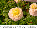 Ranunculus asiaticus L. ( Persian buttercup, Persian crowfoot, Asian buttercup ) The Sun-Link-Sea Forest and Nature Resort is located in Nantou County, Taiwan. 77094442