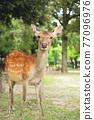 Deer in Nara Park 77096976