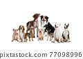 Art collage made of funny dogs different breeds posing isolated over white studio background. 77098996