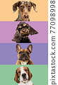 Art collage made of funny dogs different breeds on multicolored studio background. 77098998